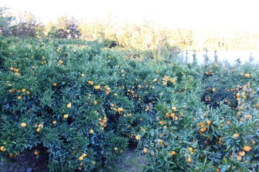 Delicious Jeju oranges