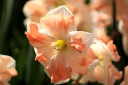 Narcissus or Daffodils