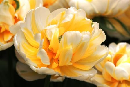 An amazing yellow and white tulip
