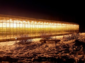Tomatoes greenhouse